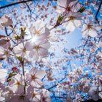 cherry-blossoms-1716763_640