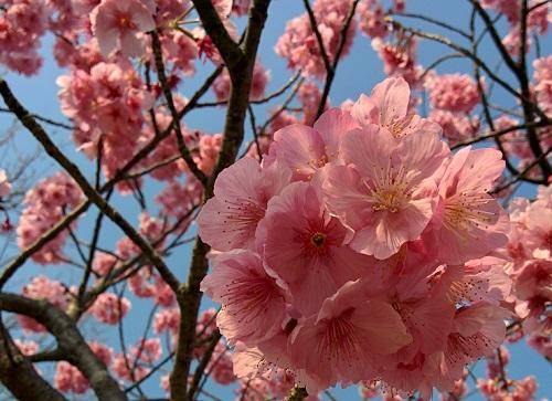 河津 桜 開花