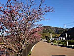 引用元:http://www.kawazu-onsen.com/sakura/kawa2016.html